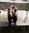 Big brown bear in city zoo Stock Photos