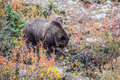 Big brown bear looking for stems of grasses Royalty Free Stock Photo