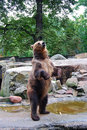 Big brown bear standing and asking for food Royalty Free Stock Photos