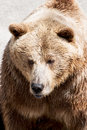 Big brown bear ursus arctos arctos Stock Photography
