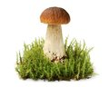 Big brown edible boletus among moss thicket on green Stock Photo