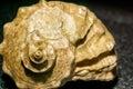 Big Brown Seashell Royalty Free Stock Photo