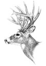 Big buck antlers hunting illustration hand drawn deer on white background trophy drawing white tail deer wildlife Stock Images