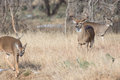 Big buck making a move on doe in heat Royalty Free Stock Photo