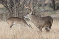 Big buck watching over doe whitetail Stock Images