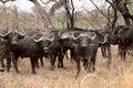 Big Buffalo herd Royalty Free Stock Photo