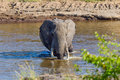 Big Bull African Elephant Wading Across Mara River Royalty Free Stock Photo