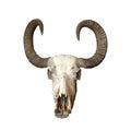 Big bull cranium isolated over white background Royalty Free Stock Images