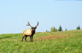 Big bull elk standing on hill top Royalty Free Stock Images