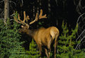 Big Bull Elk in Velvet Royalty Free Stock Photo