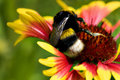 Big bumblebee on red yellow flower Royalty Free Stock Images