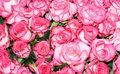 Big bunch of multiple pink roses of a bride Royalty Free Stock Photos