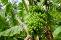 Big bundle of young green bananas growing in the tropical forest at the island Royalty Free Stock Photo