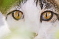 Big cat eyes white and brown with golden hiding behind plant leaves Royalty Free Stock Images