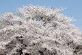 Big cherry blossom tree Royalty Free Stock Photo