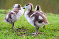 Big chicks of the egyptian goose alopochen aegyptiacus in the vondelpark in the netherlands Stock Photo