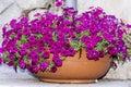 Big Clay Pot With Pink  Petuni...