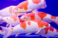Big colorful Koi carp Royalty Free Stock Photography