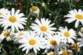 Big daisies Royalty Free Stock Photo
