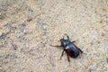 Big dark brown beetle on ground Royalty Free Stock Photo