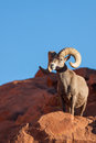 Big Desert Bighorn Sheep Ram