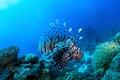 Big devil firefish Stock Photography