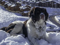 Big dog enjoying the snow in the mountains. Royalty Free Stock Photo