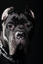 Big dog italian cane corso on dark background Royalty Free Stock Image
