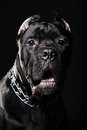 Big dog italian cane corso on dark background Royalty Free Stock Photo