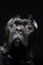 Big dog italian cane corso on dark background Stock Photos