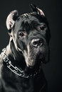 Big dog italian cane corso studio shot on dark background Stock Images