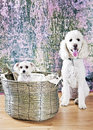 Big dog little dog portrait of a labradoodle and yorkshire terrier in a basket Stock Photo