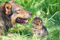 Big dog and little kitten meeting stray Royalty Free Stock Photos