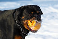Big dog a Rottweiler playing with a ball in the winter in nature Royalty Free Stock Photo