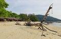 Big Dry Tree On The Beach
