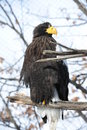 Big eagle with yellow beak haliaeetus pelagicus is a kind of Royalty Free Stock Image