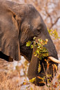 Big elephant chewing on a branch Stock Images