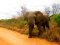 Big elephant gray nervous invading the road and wagging ears and trunk Stock Photo