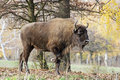 Big european bison bison bonasus in the forest side view of a wisent or Stock Images