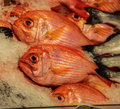 Big eye red snapper Royalty Free Stock Photo