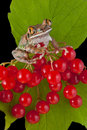 Big-eyed tree frog on berries Royalty Free Stock Photo