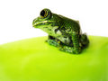 Big eyed tree frog leptopelis vermiculatus short depth of field Stock Photos