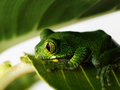 Big eyed tree frog leptopelis vermiculatus is sitting on a green banana leaf Royalty Free Stock Photography