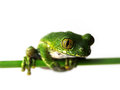 Big eyed tree frog leptopelis vermiculatus is sitting on a green bar Royalty Free Stock Photos