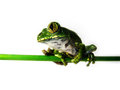 Big eyed tree frog leptopelis vermiculatus is sitting on a green bar Royalty Free Stock Image