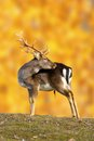 Big fallow deer buck dama dama in beautiful autumn setting Stock Images