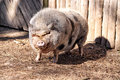 Big Fat Hairy Pig Looking To T...