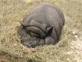 Big fat pig Royalty Free Stock Photo