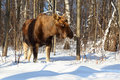 Big female of elk in woods at winter Stock Photo