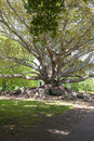 Big ficus as monkey bars roots of a very old and tree in a park in auckland n z are the perfect for kids Stock Photo